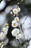 White Plum Blossoms.