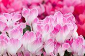 Flowers Of Cyclamen