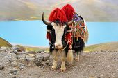 picture of yaks  - Tibetan Yak on a pass near Lhasa - JPG