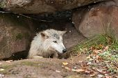 Blonde Wolf (Canis lupus) Climbs Out Of Den