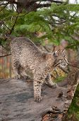 Bobcat Kitten (Lynx rufus) Prepares To Pounce