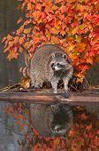 Raccoon (Procyon lotor) On Log With Reflection