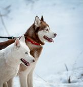 image of husky sled dog breeds  - two sled dog of breed siberian huskies - JPG