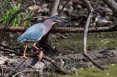 Green Heron (butorides Virescens) Stalking Its Prey In Soft Focus