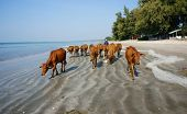 Funny Scene, Herd Of Cow On Beach