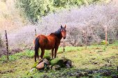 image of great horse  - Brown horse grazing in the field of the Altesina mountain - JPG