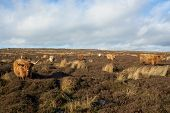 picture of highland-cattle  - Highland Cattle stood in a field with blue skies - JPG