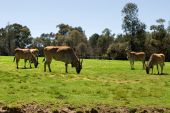 pic of eland  - Common Eland grazing in a grassed area of an Australian Zoo - JPG