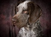 german shorthaired pointer on purple background