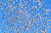 Flock of migrating birds