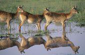 Three Deer by pond