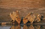 Two Cheetahs (Acinonyx Jubatus) drinking at waterhole