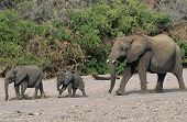 Three African Elephants (Loxodonta Africana) in a row