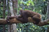 Orangutan resting on branch in forest