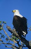Sea Eagle perched in tree