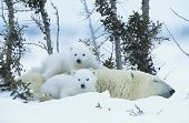 stock photo of bear-cub  - Polar Bear cubs with mother in snow Yukon - JPG