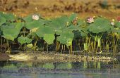 Australian Saltwater Crocodile in swamp