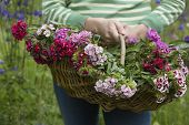 Closeup midsection of a woman holding basket of flowers