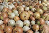 pile of beautiful bulb onions