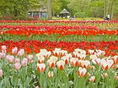 Tulip flower beds at spring garden park Keukenhof Lisse the Netherlands