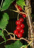 Red Currant Berries On A Branch