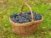 picture of merlot  - Merlot Grapes in basket on autumn grass - JPG