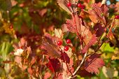 Red Viburnum Berries on The Tree