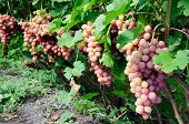 Row Of Pink Grape