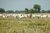 LILIIR, SOUTH SUDAN-DECEMBER 4 2010: Unidentified herder moves his cattle in South Sudan