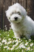Animal Pup Portrait: Coton De Tuléar Dog - Pure White Like Cotton In Summer.