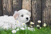 Baby Dog: Coton De Tulear Puppy For Animal Concepts.