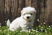 Dog Portrait: Cute Baby Dog - Puppy Coton De Tulear.