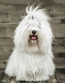 Portrait Of An Original Coton De Tuléar Dog - Pure White Like Cotton.