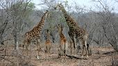 Giraffe Family, Sabi Sands