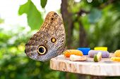 Owl Butterfly (caligo Memnon) Eating Fruit Juice