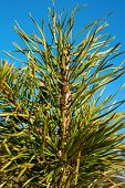 Pine Twig On Blue Sky Background. Outdoors.