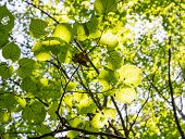 Green Leaves Of The Tree In Sunshine