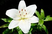 Above View Of White Bloom Lilium Candidum