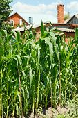 Corn Planting In Garden In Village Backyard