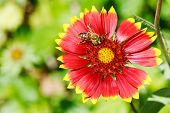 Bee Collects Blossom Dust From Gaillardia Flowers