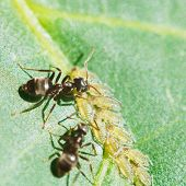 image of aphid  - two ants grazing aphids group on leaf of walnut tree close up