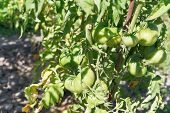 Green Tomato Bush In Garden