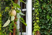 Apple Tree In Front Entrance In New Country House