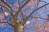 Flourishing Cherry Tree Full Bloom
