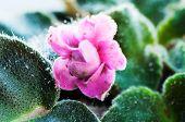 Plant Louse On Violet Background