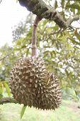 Fresh Durian Fruit On Trees.