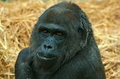 pic of lowlands  - photo portrait of a female lowland gorilla