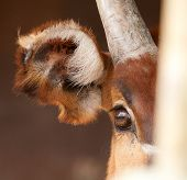 pic of bongo  - photo of the eye ear horn of a bongo antelope