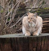 resting lynx cat