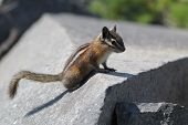 Yellow-Pine Chipmunk on a Rock